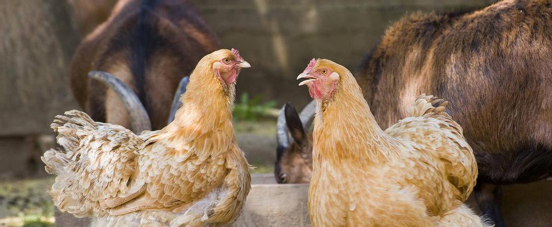 Hühner und Ziegen in der Umgebung des MEDIAN Therapiezentrum Bassenheim