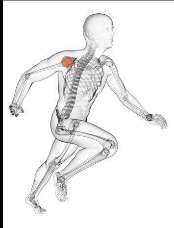 Skelett Schulter