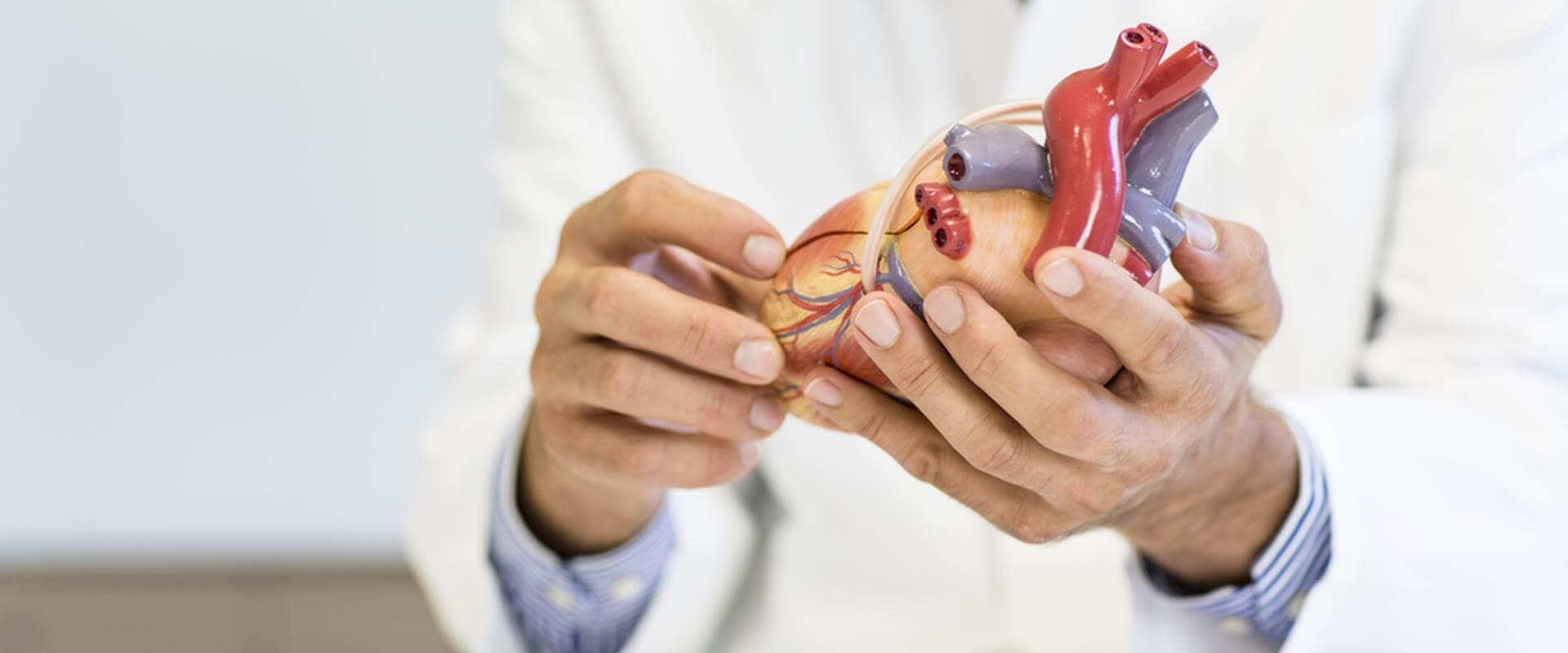 Arzt erklärt etwas anhand eines Herzmodells